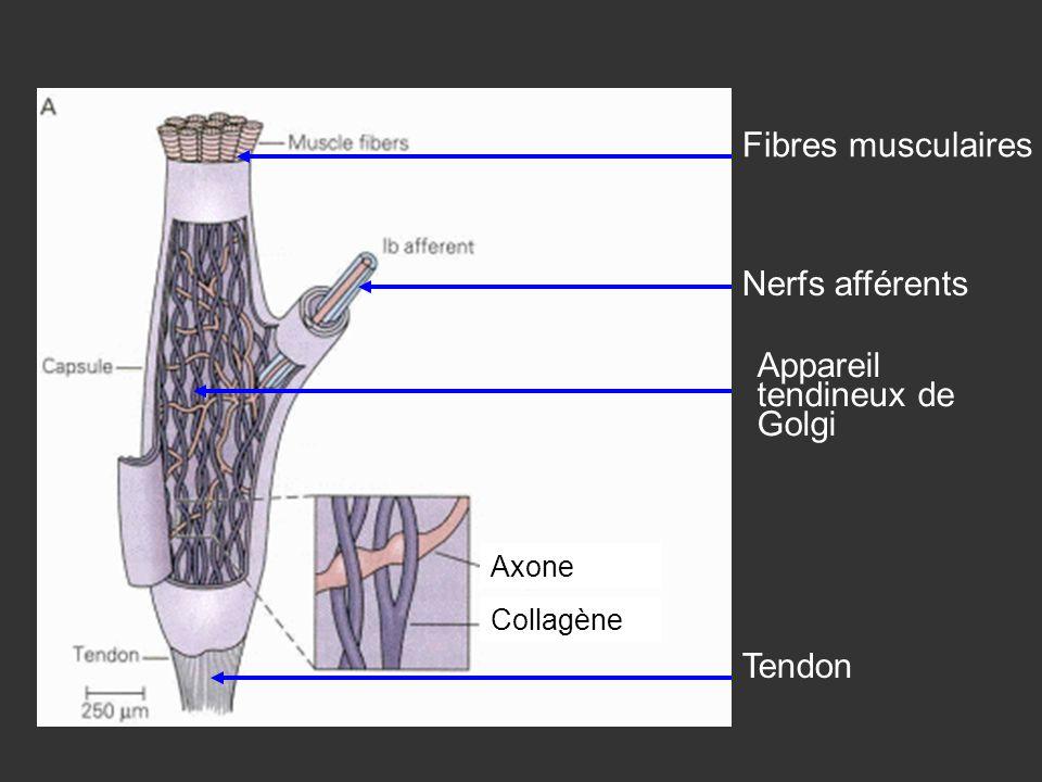 Fibres musculaires Tendon Appareil tendineux de Golgi Nerfs afférents Collagène Axone
