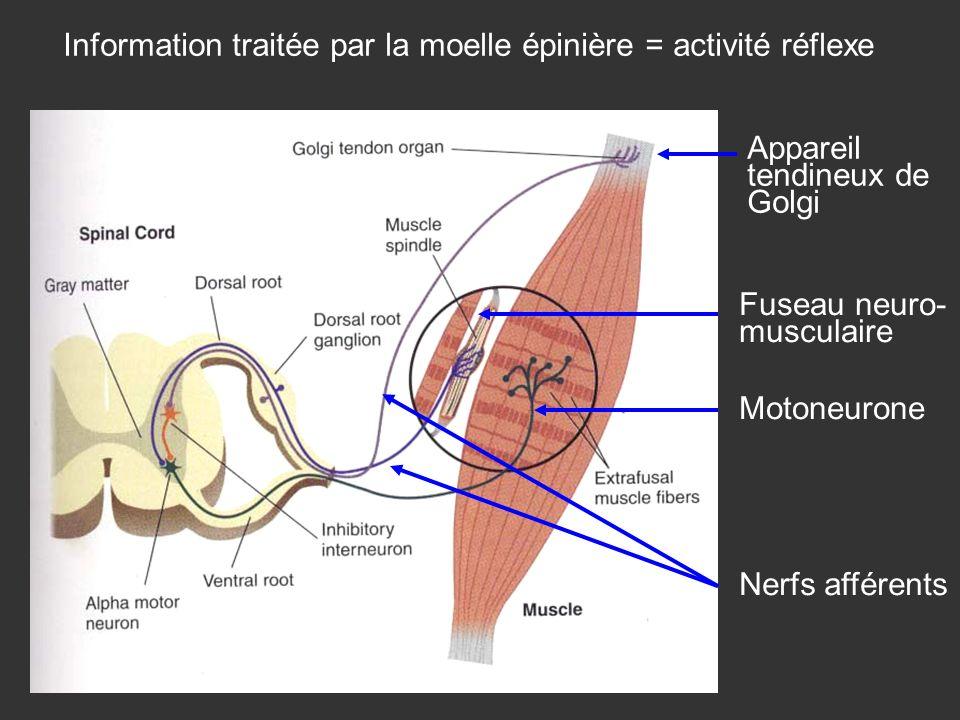 Fuseau neuro- musculaire Appareil tendineux de Golgi Nerfs afférents Motoneurone Information traitée par la moelle épinière = activité réflexe