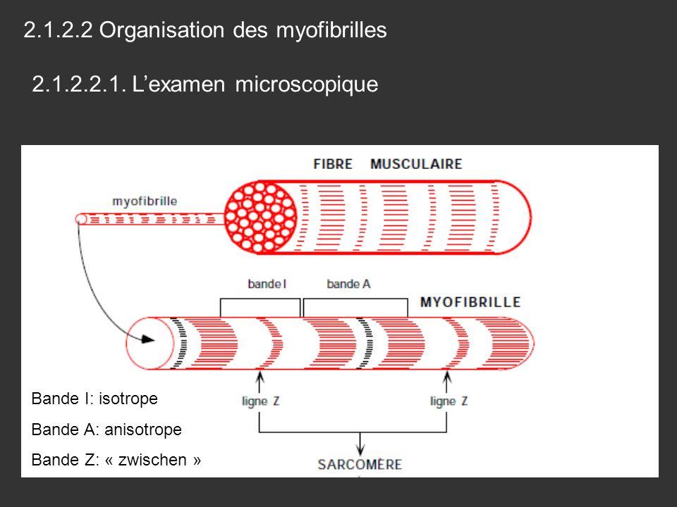 Bande I: isotrope Bande A: anisotrope Bande Z: « zwischen » 2.1.2.2 Organisation des myofibrilles 2.1.2.2.1. Lexamen microscopique