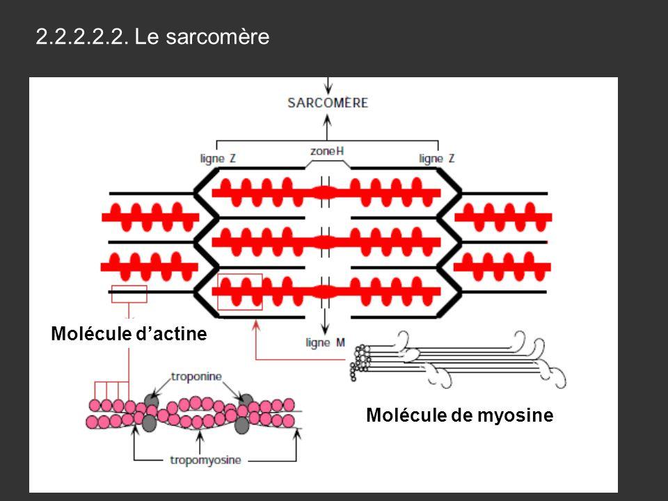 2.2.2.2.2. Le sarcomère Molécule de myosine Molécule dactine