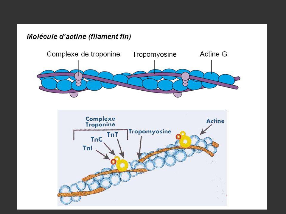 Complexe de troponine Tropomyosine Actine G Molécule dactine (filament fin)