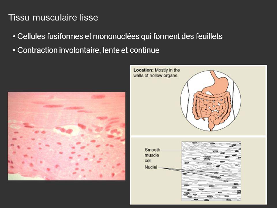 Tissu musculaire lisse Cellules fusiformes et mononuclées qui forment des feuillets Contraction involontaire, lente et continue