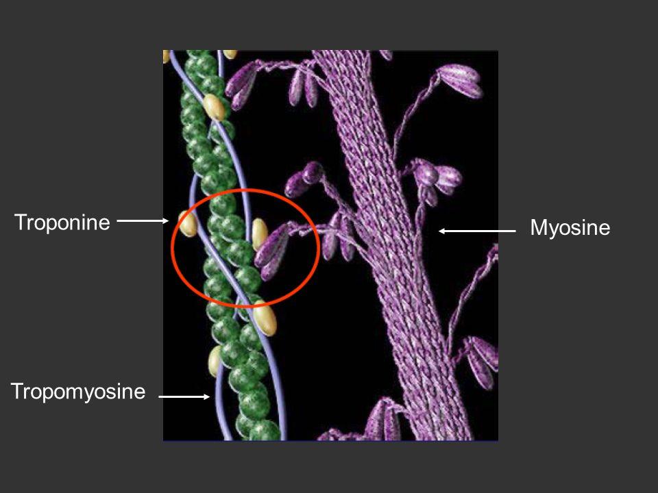 Tropomyosine Troponine Myosine