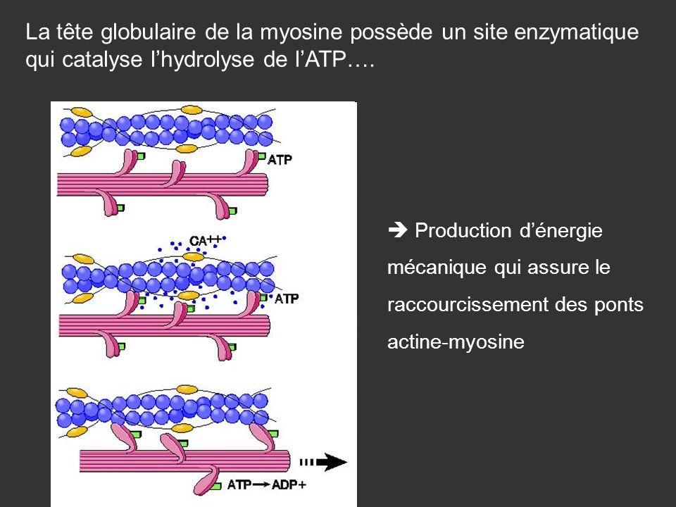 La tête globulaire de la myosine possède un site enzymatique qui catalyse lhydrolyse de lATP…. Production dénergie mécanique qui assure le raccourciss
