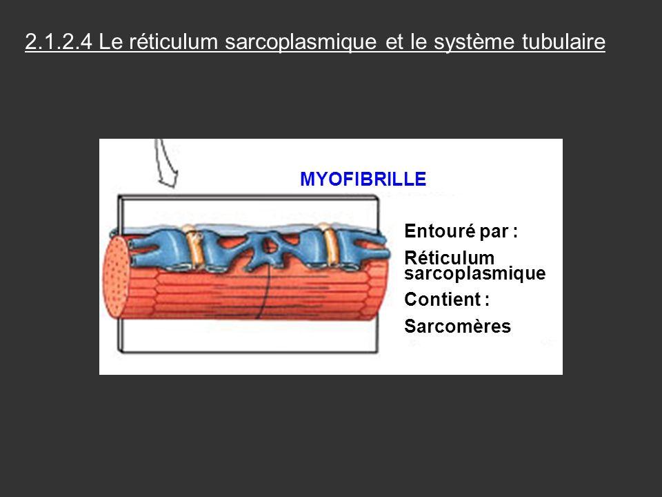 Entouré par : Réticulum sarcoplasmique Contient : Sarcomères MYOFIBRILLE 2.1.2.4 Le réticulum sarcoplasmique et le système tubulaire