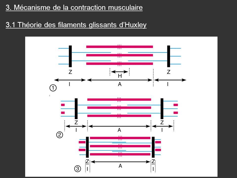 3. Mécanisme de la contraction musculaire 3.1 Théorie des filaments glissants dHuxley