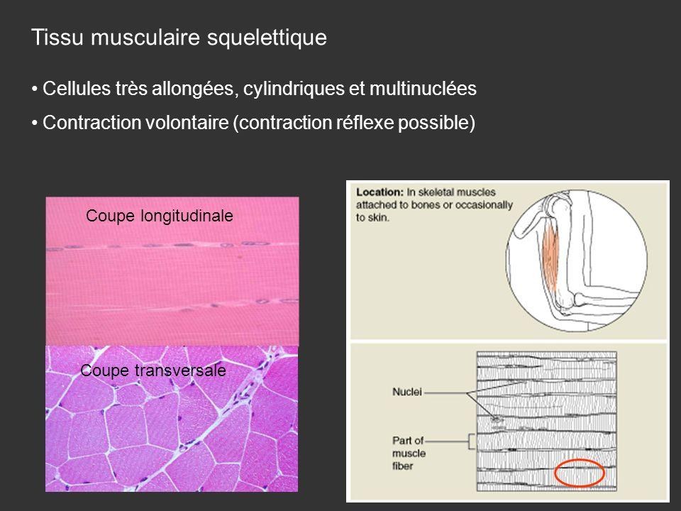 Tissu musculaire squelettique Coupe transversale Coupe longitudinale Cellules très allongées, cylindriques et multinuclées Contraction volontaire (con
