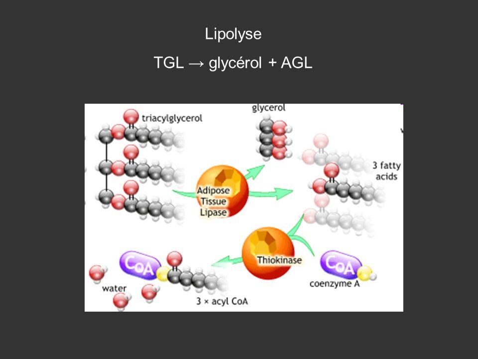 Lipolyse TGL glycérol + AGL