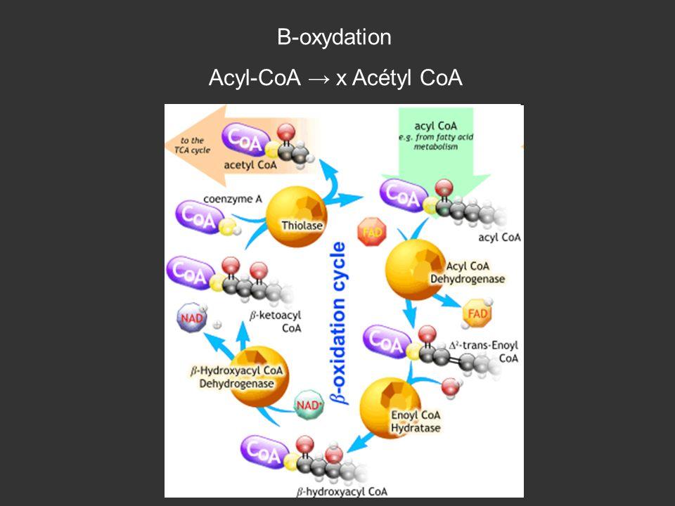 Β-oxydation Acyl-CoA x Acétyl CoA