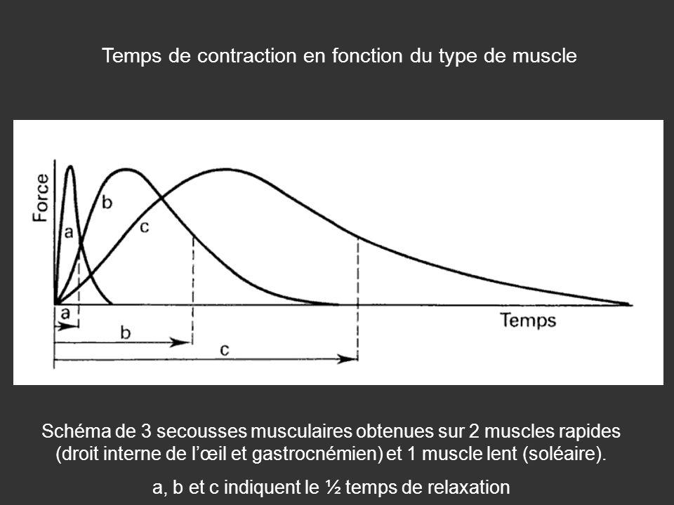 Temps de contraction en fonction du type de muscle Schéma de 3 secousses musculaires obtenues sur 2 muscles rapides (droit interne de lœil et gastrocn