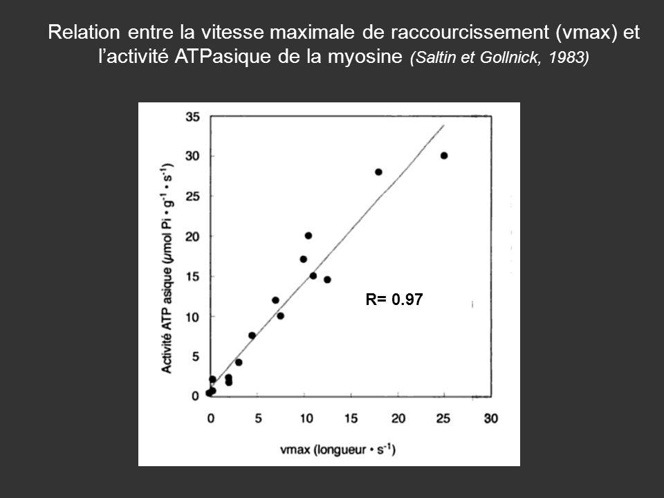 Relation entre la vitesse maximale de raccourcissement (vmax) et lactivité ATPasique de la myosine (Saltin et Gollnick, 1983) R= 0.97