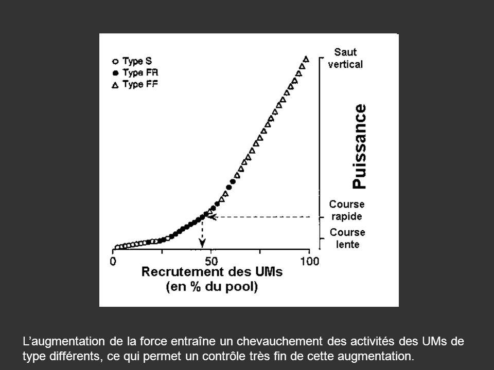 Laugmentation de la force entraîne un chevauchement des activités des UMs de type différents, ce qui permet un contrôle très fin de cette augmentation