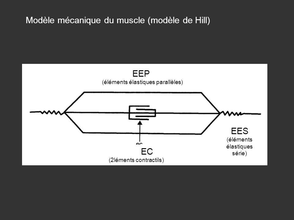 Modèle mécanique du muscle (modèle de Hill) EC (2léments contractils) EEP (éléments élastiques parallèles) EES (éléments élastiques série)