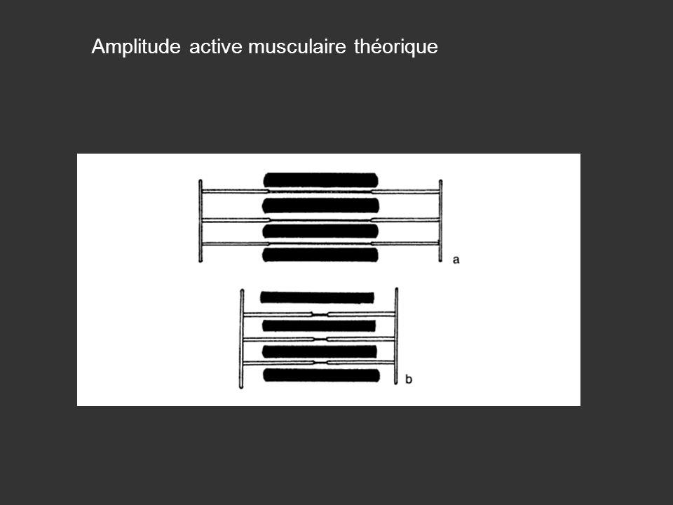 Amplitude active musculaire théorique