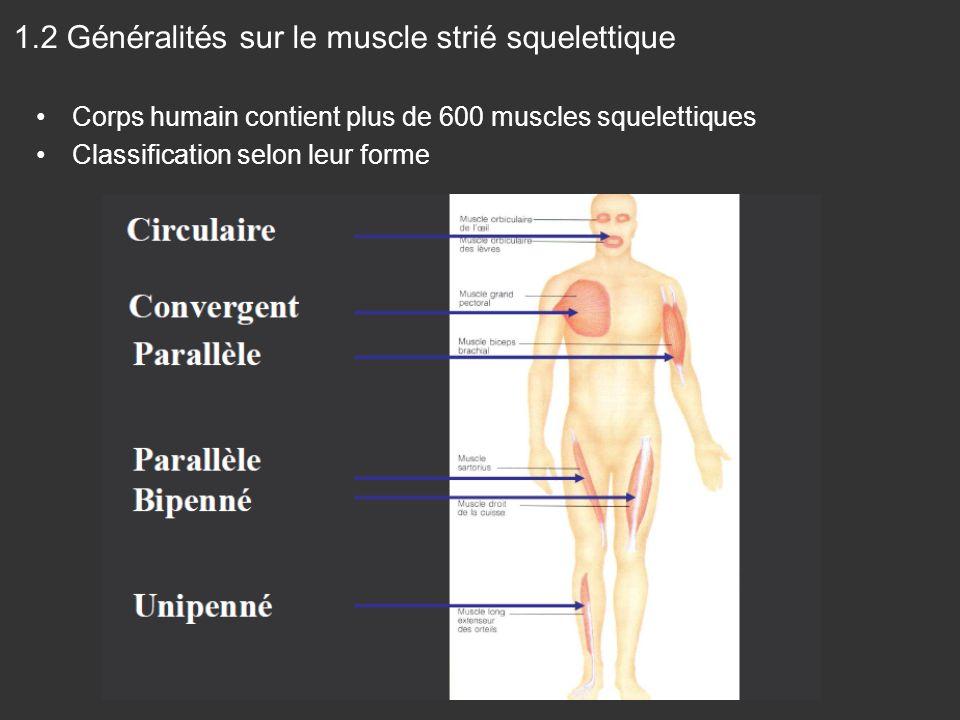 Corps humain contient plus de 600 muscles squelettiques Classification selon leur forme 1.2 Généralités sur le muscle strié squelettique