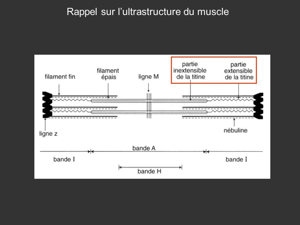 Rappel sur lultrastructure du muscle