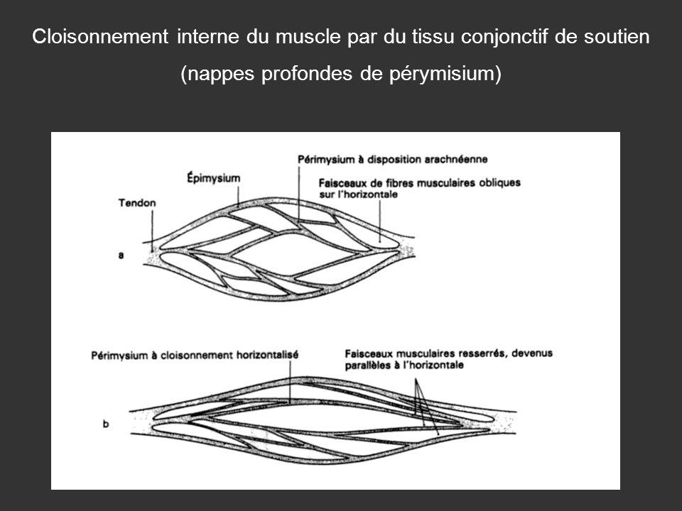 Cloisonnement interne du muscle par du tissu conjonctif de soutien (nappes profondes de pérymisium)