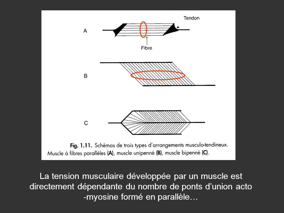 La tension musculaire développée par un muscle est directement dépendante du nombre de ponts dunion acto -myosine formé en parallèle…
