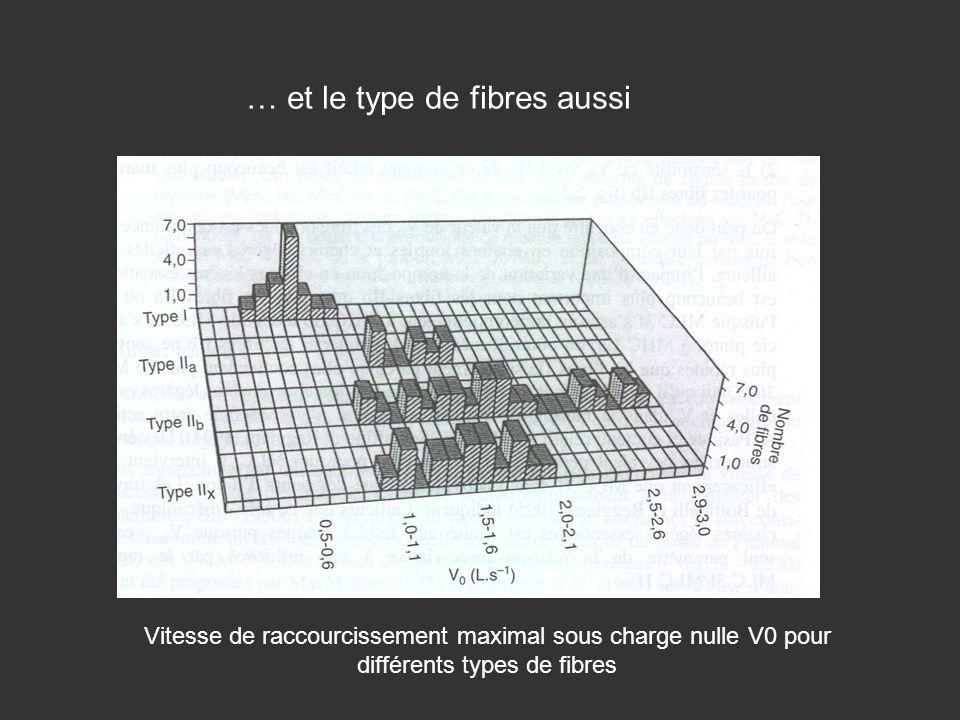 … et le type de fibres aussi Vitesse de raccourcissement maximal sous charge nulle V0 pour différents types de fibres