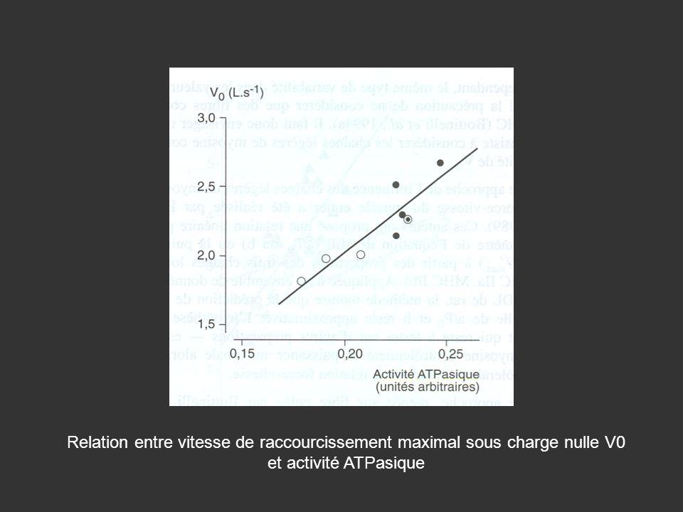 Relation entre vitesse de raccourcissement maximal sous charge nulle V0 et activité ATPasique