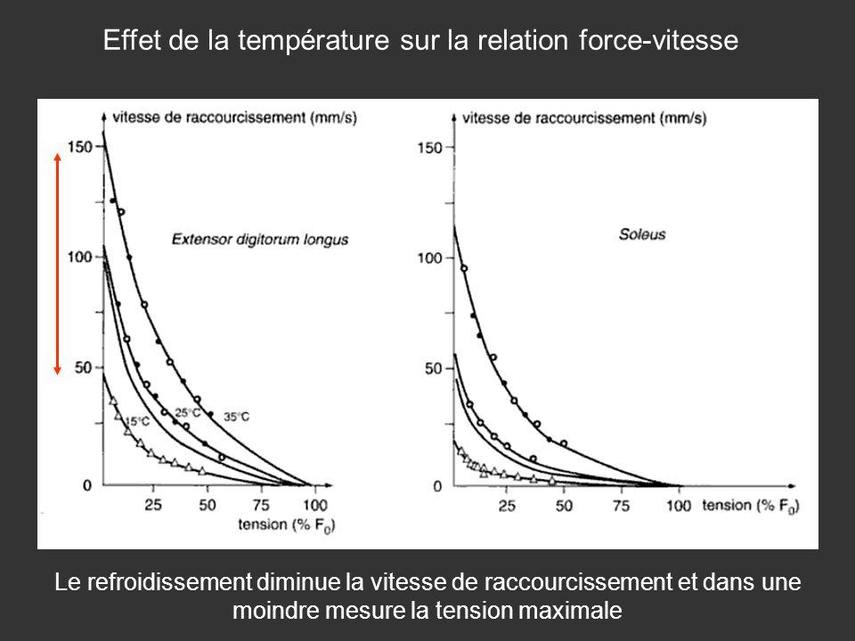 Le refroidissement diminue la vitesse de raccourcissement et dans une moindre mesure la tension maximale Effet de la température sur la relation force