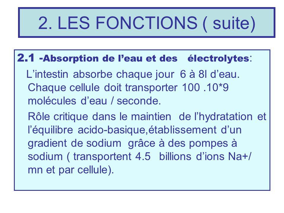 2. LES FONCTIONS ( suite) 2.1 - Absorption de leau et des électrolytes : Lintestin absorbe chaque jour 6 à 8l deau. Chaque cellule doit transporter 10