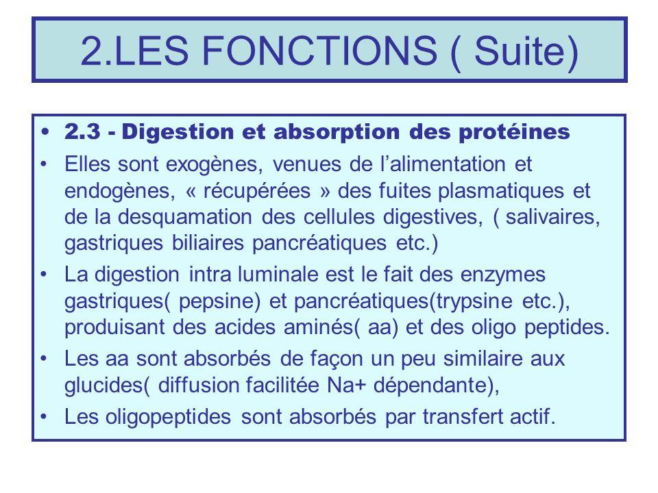 2.LES FONCTIONS ( Suite) 2.3 - Digestion et absorption des protéines Elles sont exogènes, venues de lalimentation et endogènes, « récupérées » des fui