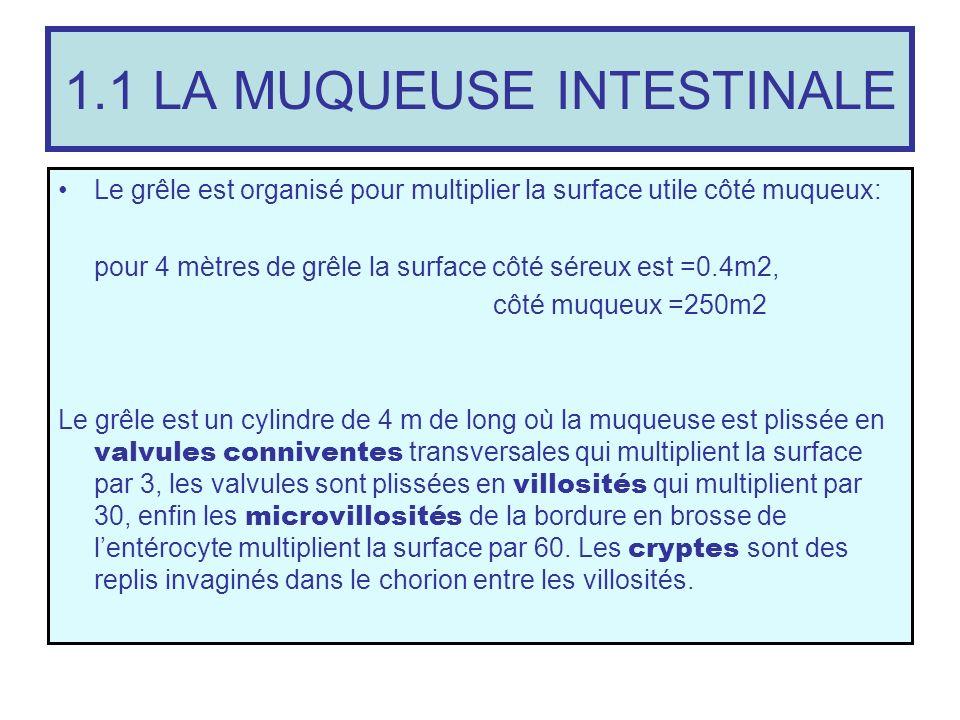 1.1 LA MUQUEUSE INTESTINALE Le grêle est organisé pour multiplier la surface utile côté muqueux: pour 4 mètres de grêle la surface côté séreux est =0.