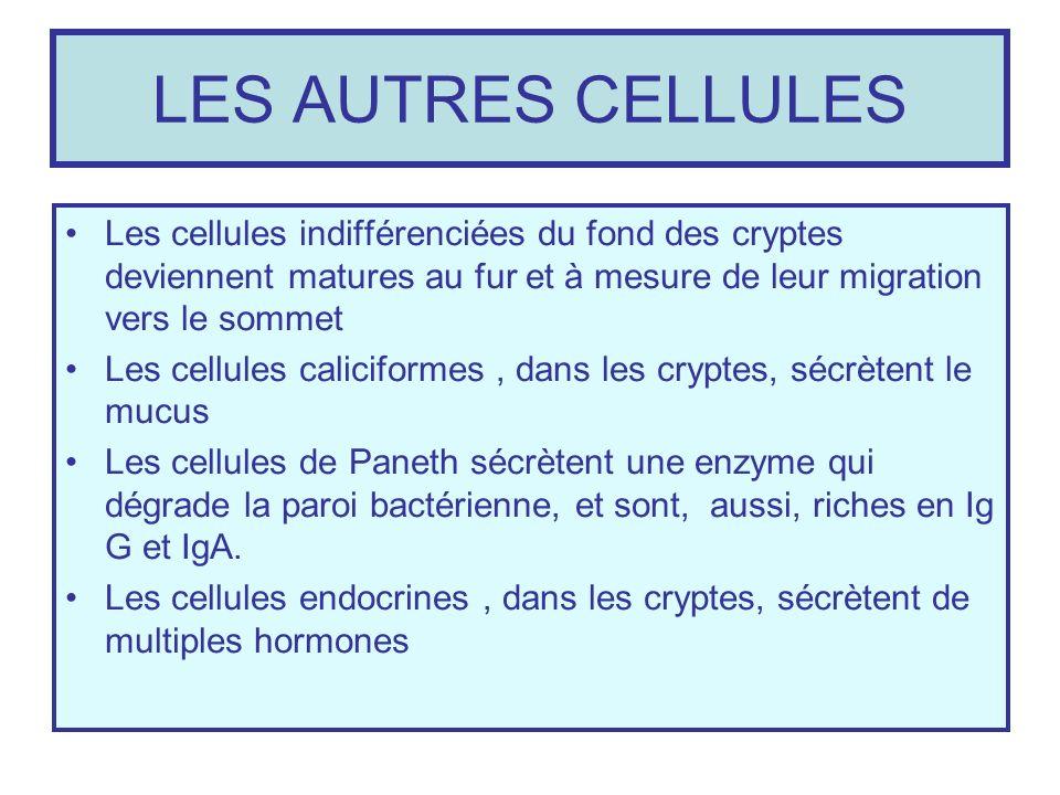 LES AUTRES CELLULES Les cellules indifférenciées du fond des cryptes deviennent matures au fur et à mesure de leur migration vers le sommet Les cellul