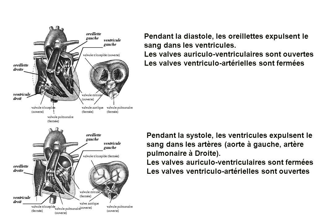 Pendant la diastole, les oreillettes expulsent le sang dans les ventricules. Les valves auriculo-ventriculaires sont ouvertes Les valves ventriculo-ar