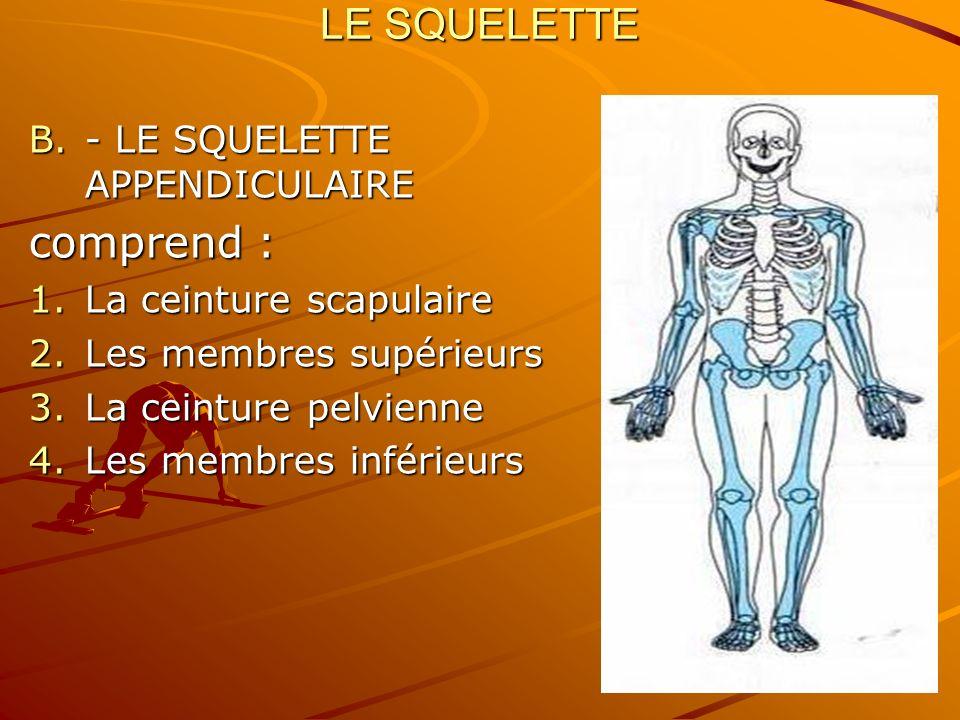LE SQUELETTE B.- LE SQUELETTE APPENDICULAIRE comprend : 1.La ceinture scapulaire 2.Les membres supérieurs 3.La ceinture pelvienne 4.Les membres inféri