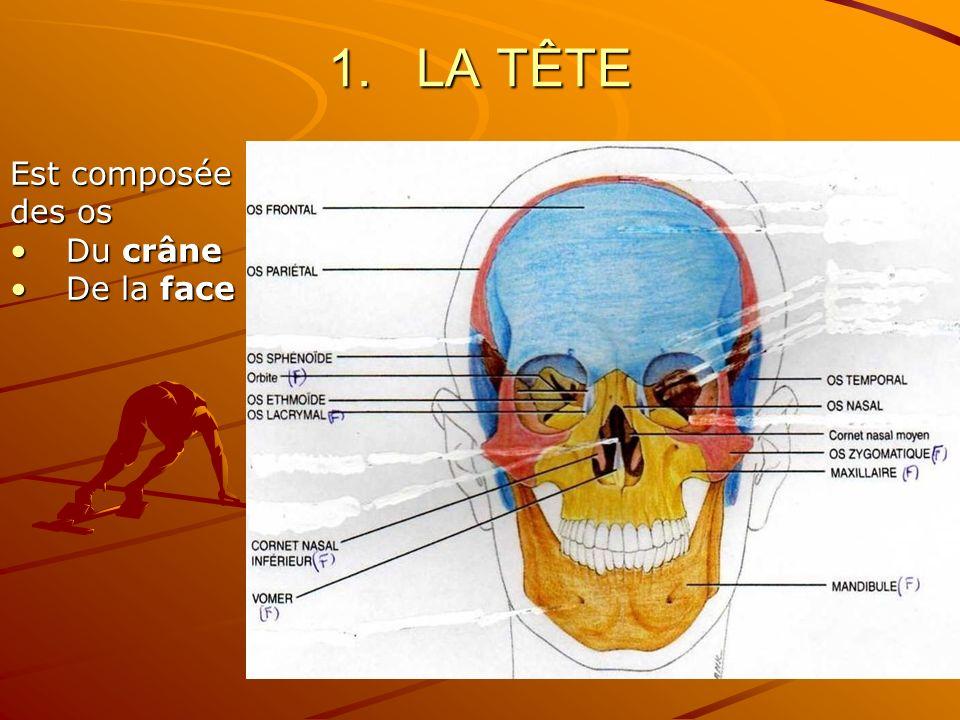 1.LA TÊTE Est composée des os Du crâneDu crâne De la faceDe la face