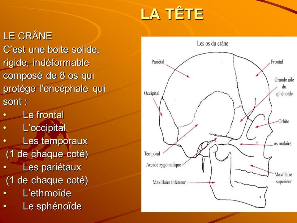 LA TÊTE LE CRÂNE Cest une boite solide, rigide, indéformable composé de 8 os qui protège lencéphale qui sont : Le frontalLe frontal LoccipitalLoccipit