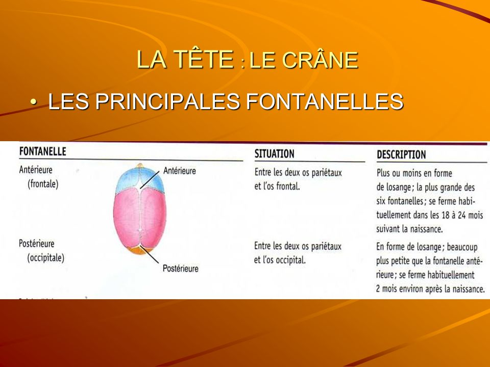 LA TÊTE : LE CRÂNE LA TÊTE : LE CRÂNE LES PRINCIPALES FONTANELLESLES PRINCIPALES FONTANELLES