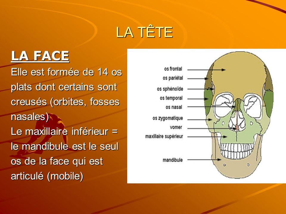 LA TÊTE LA TÊTE LA FACE Elle est formée de 14 os plats dont certains sont creusés (orbites, fosses nasales) Le maxillaire inférieur = le mandibule est