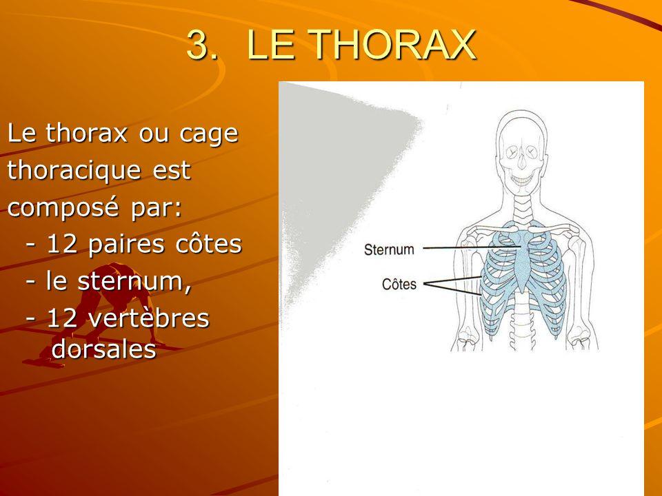 3.LE THORAX Le thorax ou cage thoracique est composé par: - 12 paires côtes - 12 paires côtes - le sternum, - le sternum, - 12 vertèbres dorsales - 12