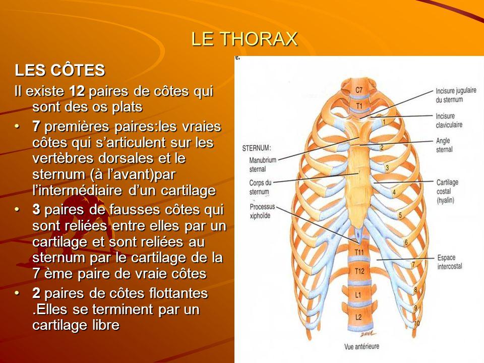 LE THORAX LE THORAX LES CÔTES Il existe 12 paires de côtes qui sont des os plats 7 premières paires:les vraies côtes qui sarticulent sur les vertèbres