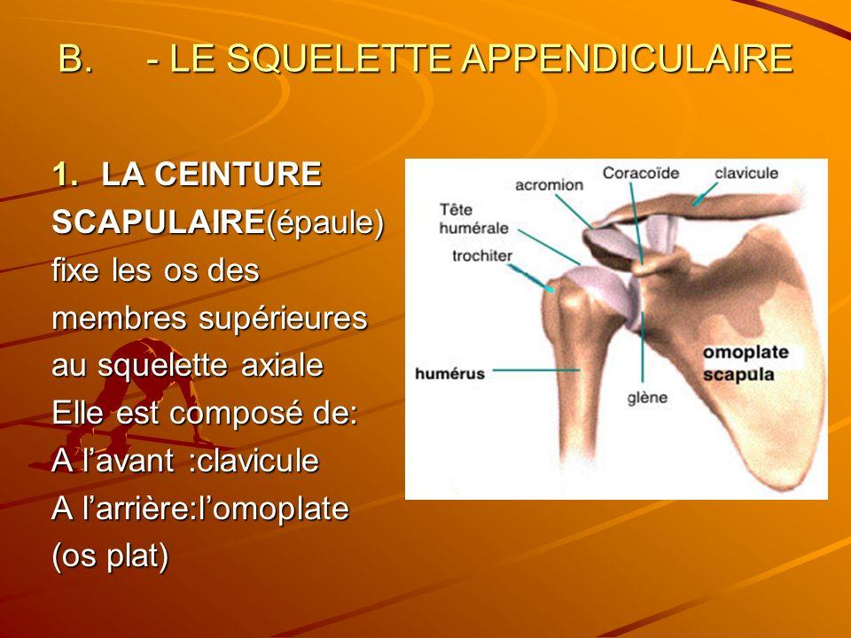 B. - LE SQUELETTE APPENDICULAIRE 1.LA CEINTURE SCAPULAIRE(épaule) fixe les os des membres supérieures au squelette axiale Elle est composé de: A lavan