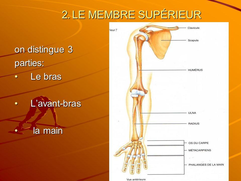 2. 2. LE MEMBRE SUPÉRIEUR on distingue 3 parties: Le brasLe bras Lavant-brasLavant-bras la main la main