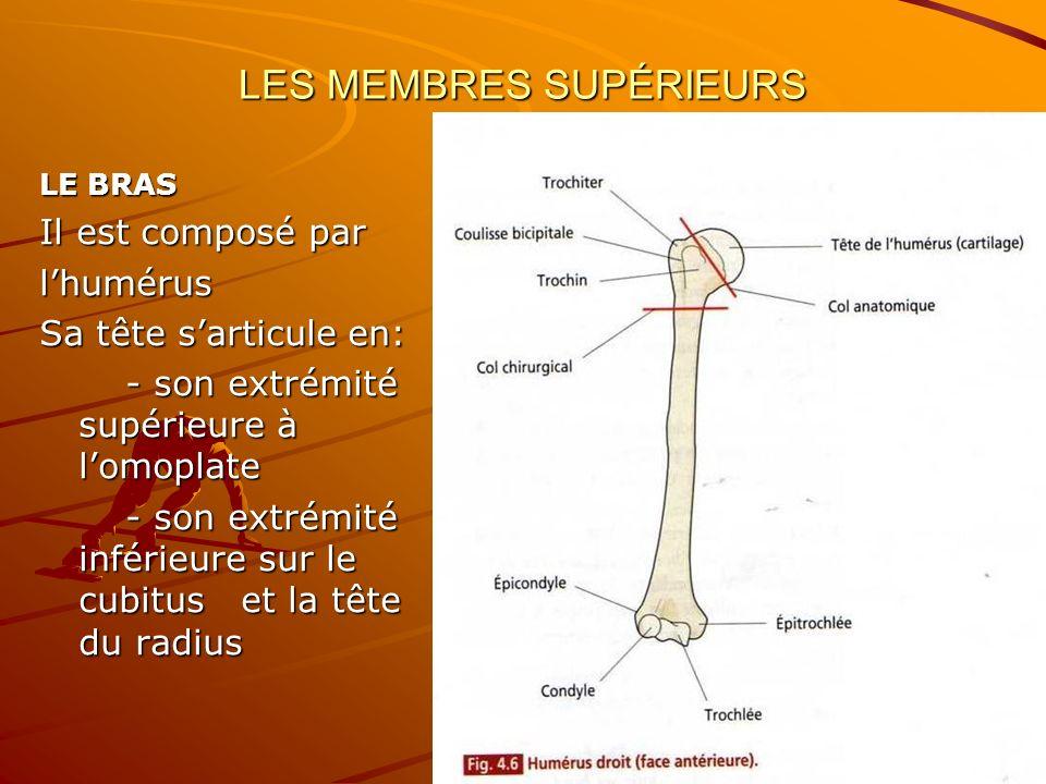 LES MEMBRES SUPÉRIEURS LE BRAS Il est composé par lhumérus Sa tête sarticule en: - son extrémité supérieure à lomoplate - son extrémité supérieure à l