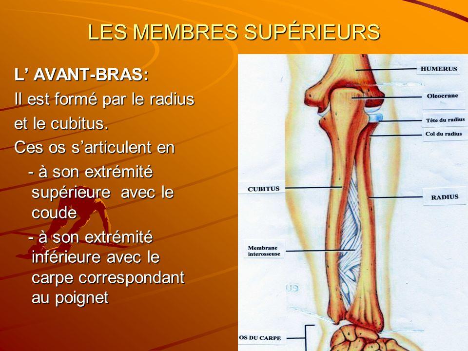 LES MEMBRES SUPÉRIEURS L AVANT-BRAS: Il est formé par le radius et le cubitus. Ces os sarticulent en - à son extrémité supérieure avec le coude - à so