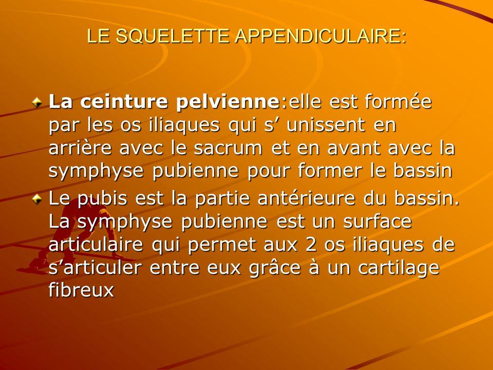 LE SQUELETTE APPENDICULAIRE: La ceinture pelvienne:elle est formée par les os iliaques qui s unissent en arrière avec le sacrum et en avant avec la sy
