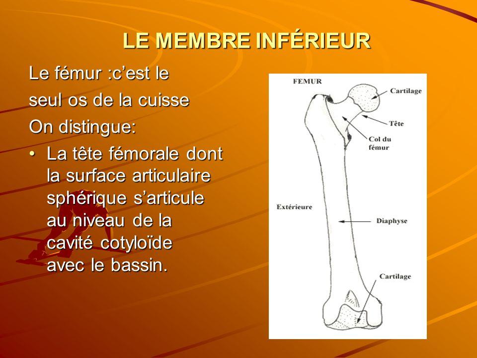 LE MEMBRE INFÉRIEUR Le fémur :cest le seul os de la cuisse On distingue: La tête fémorale dont la surface articulaire sphérique sarticule au niveau de