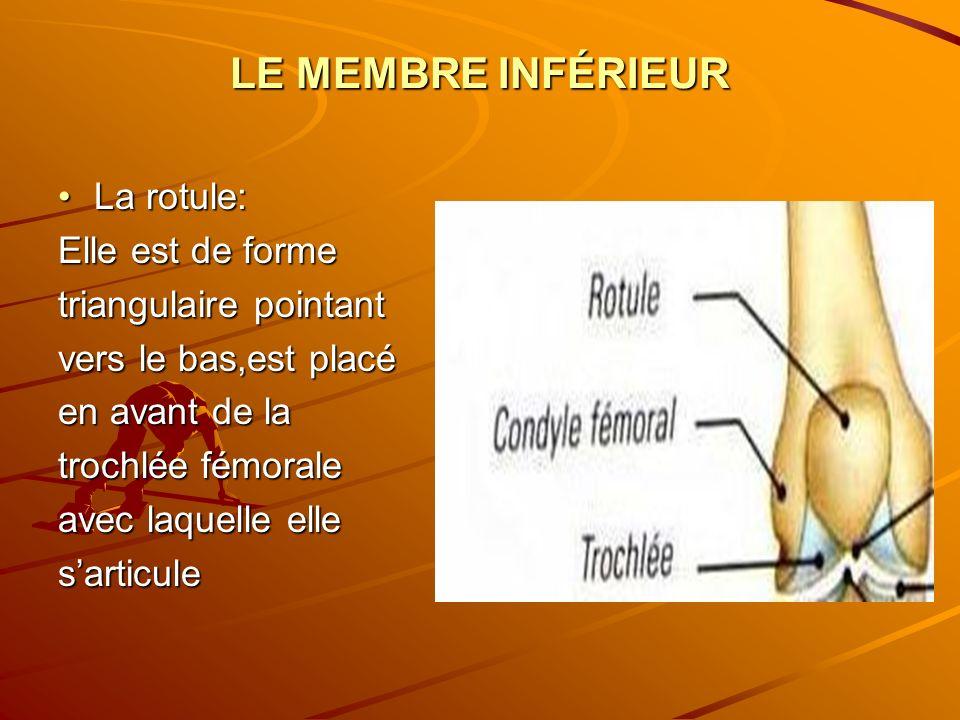 LE MEMBRE INFÉRIEUR La rotule:La rotule: Elle est de forme triangulaire pointant vers le bas,est placé en avant de la trochlée fémorale avec laquelle
