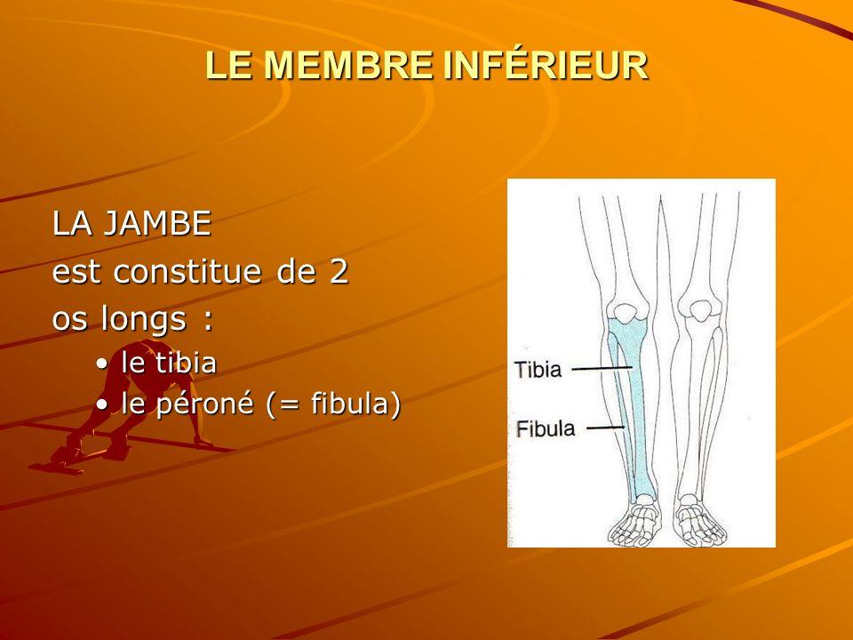 LE MEMBRE INFÉRIEUR LA JAMBE est constitue de 2 os longs : le tibiale tibia le péroné (= fibula)le péroné (= fibula)