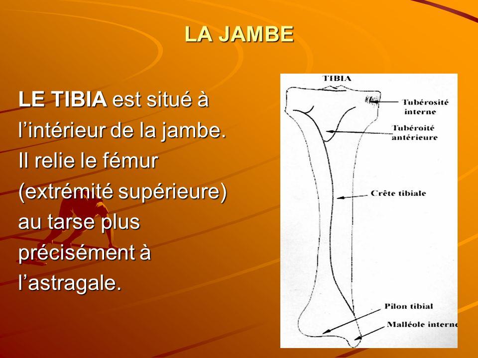 LA JAMBE LE TIBIA est situé à lintérieur de la jambe. Il relie le fémur (extrémité supérieure) au tarse plus précisément à lastragale.