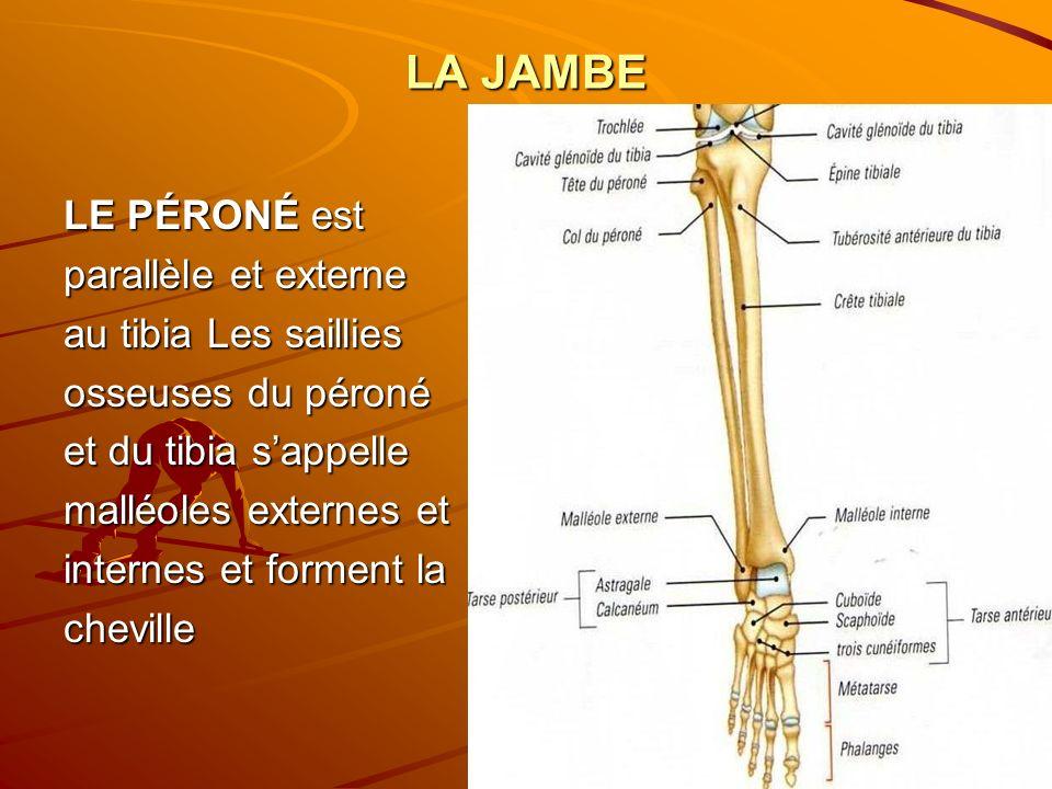 LA JAMBE LE PÉRONÉ est parallèle et externe au tibia Les saillies osseuses du péroné et du tibia sappelle malléoles externes et internes et forment la