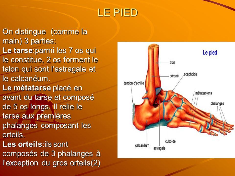 LE PIED On distingue (comme la main) 3 parties: Le tarse:parmi les 7 os qui le constitue, 2 os forment le talon qui sont lastragale et le calcanéum. L