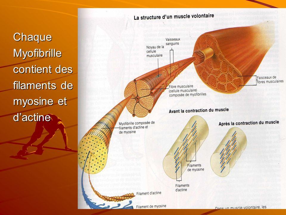 ChaqueMyofibrille contient des filaments de myosine et dactine