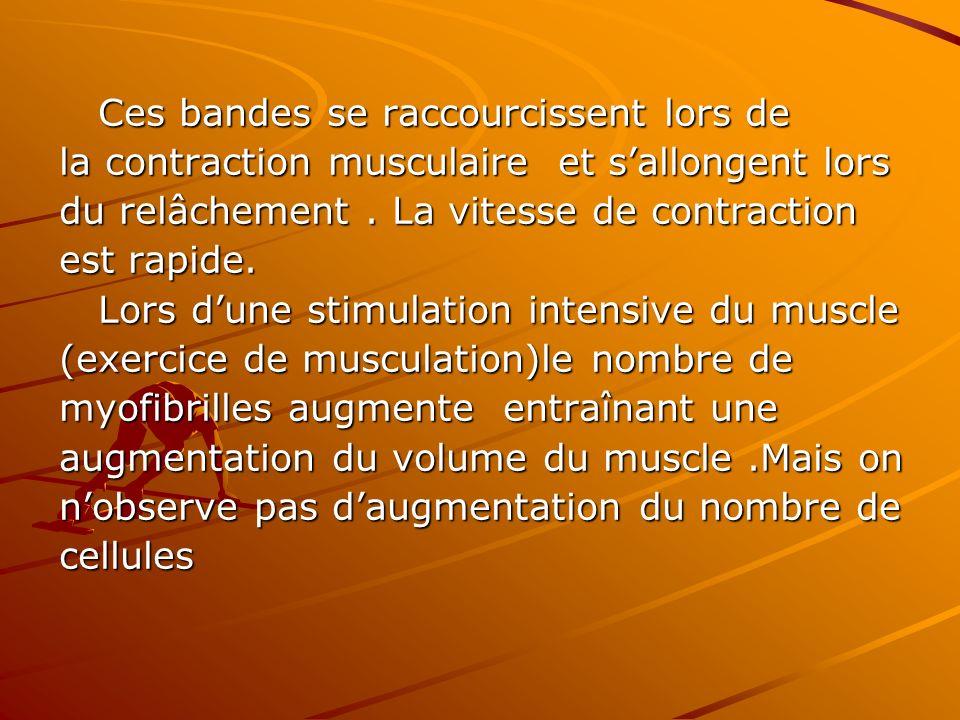 Ces bandes se raccourcissent lors de Ces bandes se raccourcissent lors de la contraction musculaire et sallongent lors du relâchement. La vitesse de c